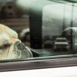 Koira kuumassa autossa